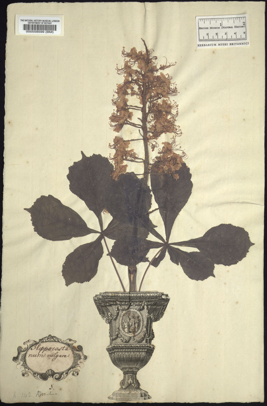 https://www.nhm.ac.uk//resources/research-curation/projects/clifford-herbarium/lgimages/BM000558599.JPG