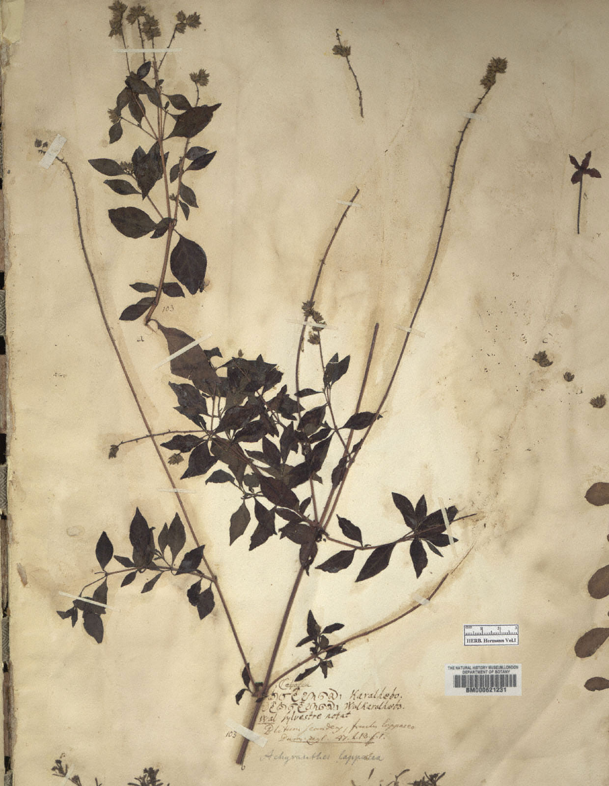 https://www.nhm.ac.uk//resources/research-curation/projects/hermann-herbarium/lgimages/BM000621231.JPG