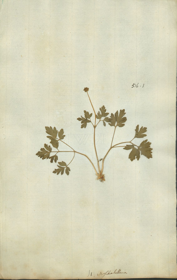 https://www.nhm.ac.uk//resources/research-curation/projects/linnaean-typification/lgimages/HL516.1.JPG