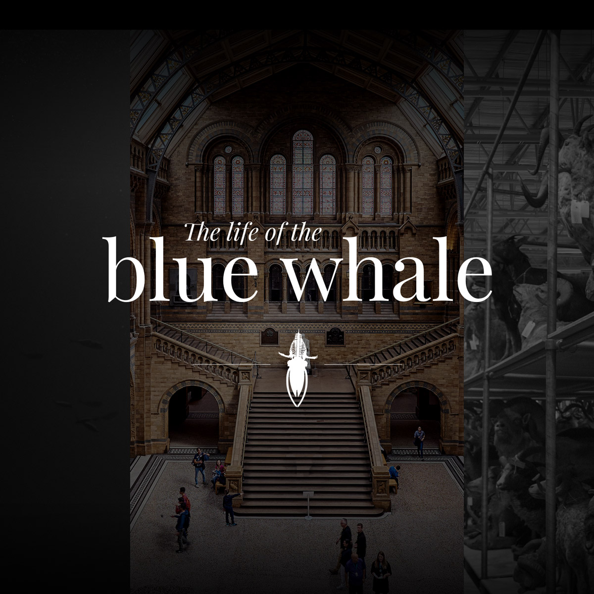 The life of the blue whale