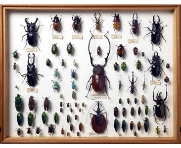 A tray of beetle specimens