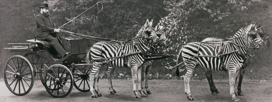 Walter Rothshchild in his zebra-drawn carriage