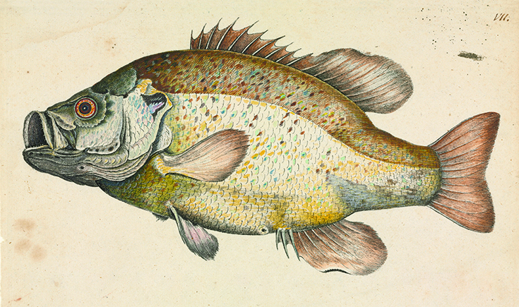 Drawing of a fish from the Botanical and zoological drawings (1756-1788) by William Bartram.