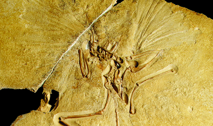 Archaeopteryx (Archaeopteryx lithographica), around 147 million years old. Item from the Codogan Treasures gallery.