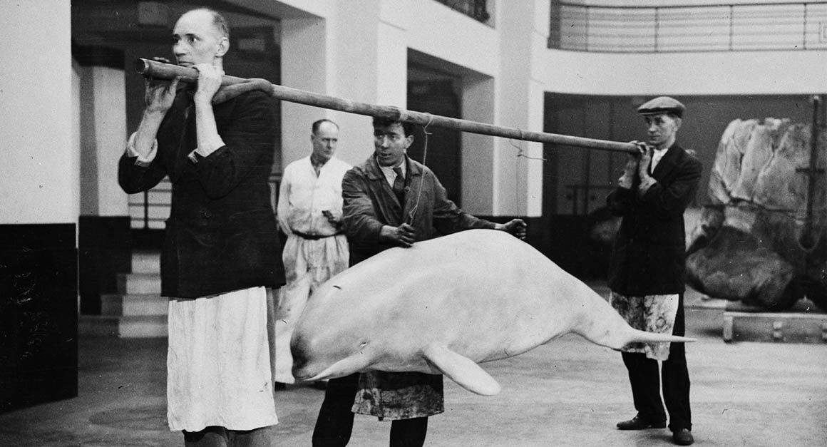 Museum staff carry a model beluga on a pole, around 1934