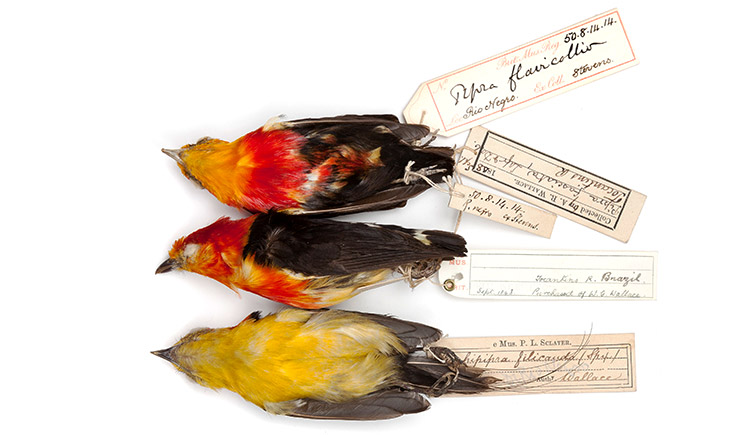 The images shows three colourful bird skins, with labels attached