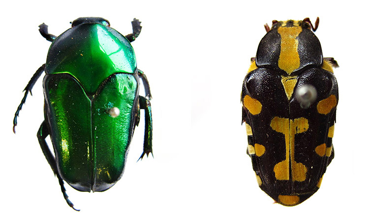 Two colourful pinned beetle specimens, one shiny green, one black with yellow markings