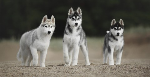 Three husky puppies
