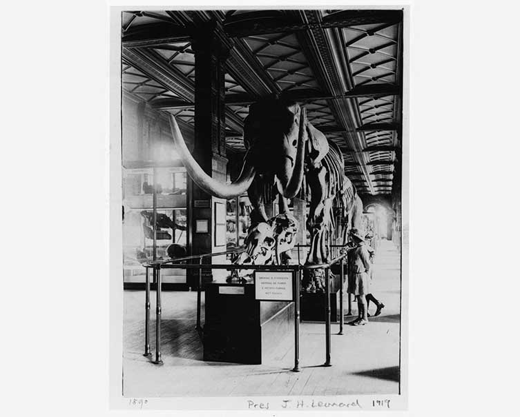 The American mastodon in the Museum's Geological Gallery c.1919