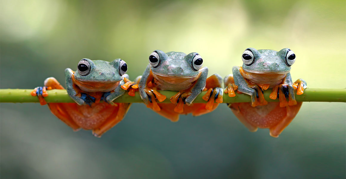 Three orange and green frogs perched on a branch