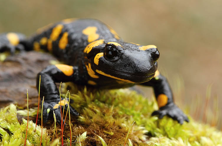 A black and white salamander