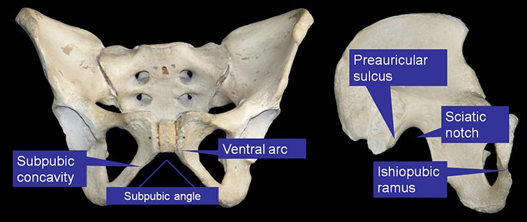 The features of a female pelvis