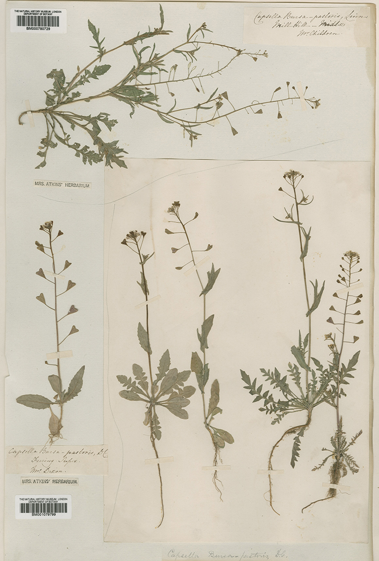 Herbarium sheet showing seed plants specimens collected by Anna Atkins. In this case a single sheet is shared with her father John Children and close childhood friend Anna Dixon, a distant cousin to Jane Austen.