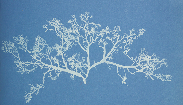 Anna Atkins cyanotype of algae