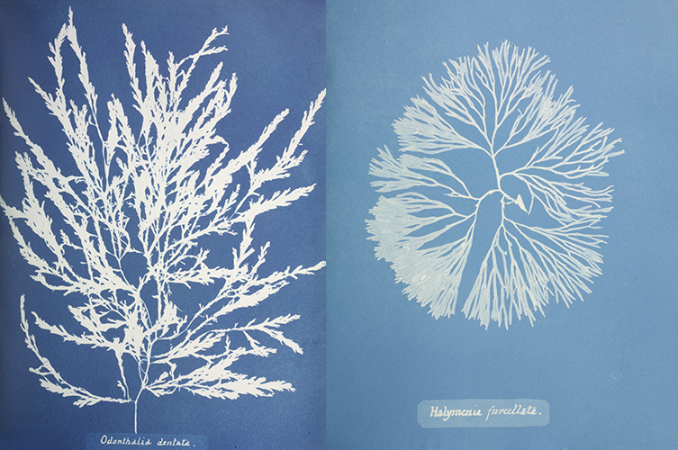 Not only did Anna's cyanotype impressions provide enough detail to distinguish one species from the next, they were also imaginative compositions.
