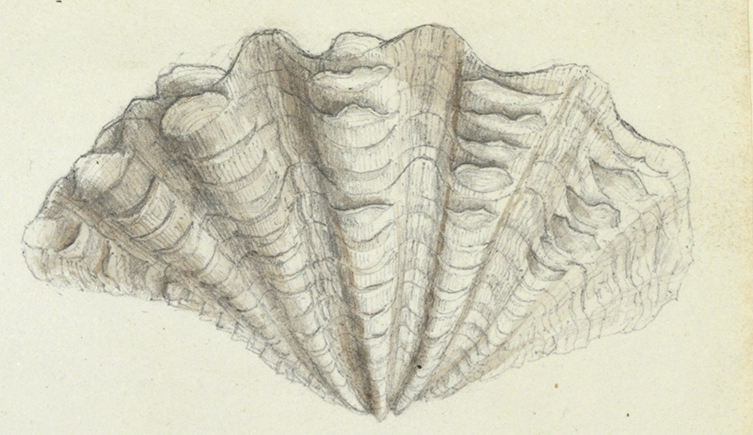 Original illustration of a giant clam by Anna Children for the English translation of Lamarck's Genera of Shells, c1820