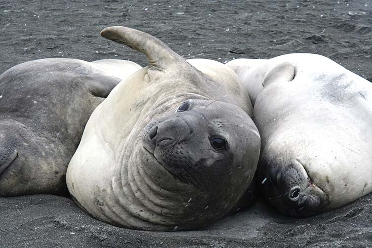 Three elephant seals lying on sand