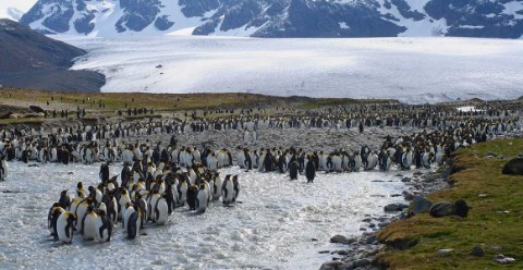 King penguins gather next to the Heaney Glacier © Dr Anne D Jungblut