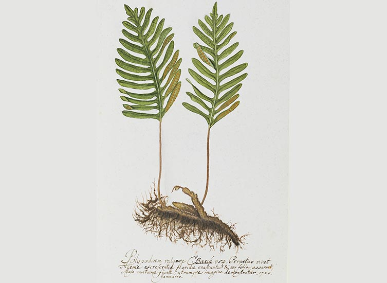 Polypodum australe painting by Dillenius