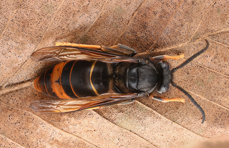 The black and orange stripes on an Asian hornet