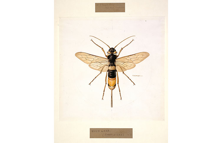 An illustration of a giant woodwasp
