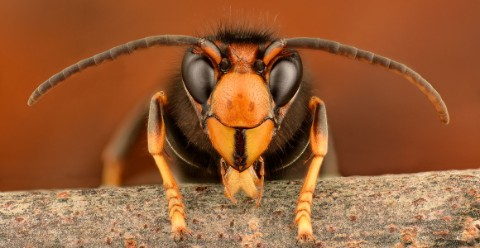 A close up of an Asian hornet's face