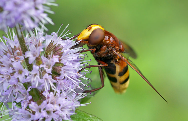 A belted hoverfly on a flower