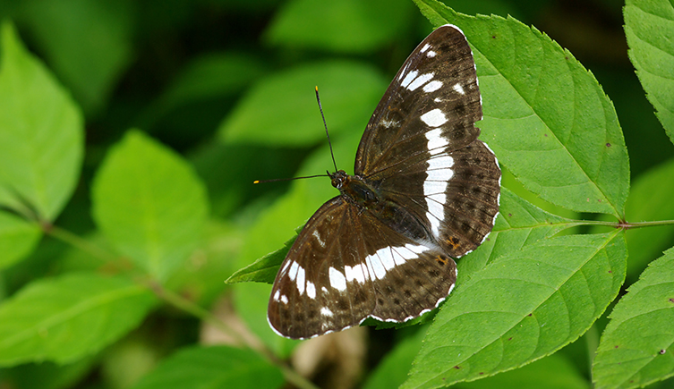The white admiral can only be found in warmer parts of the country