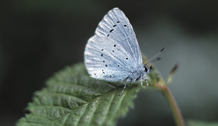 The holly blue is a frequent visitor to gardens