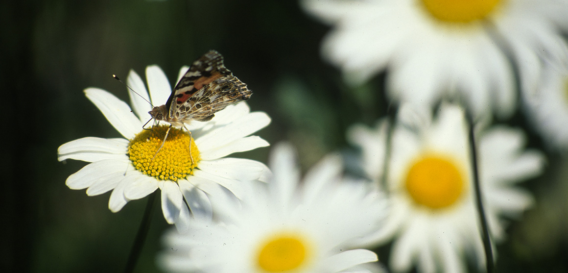 A butterfly landing on an oxeye daisy