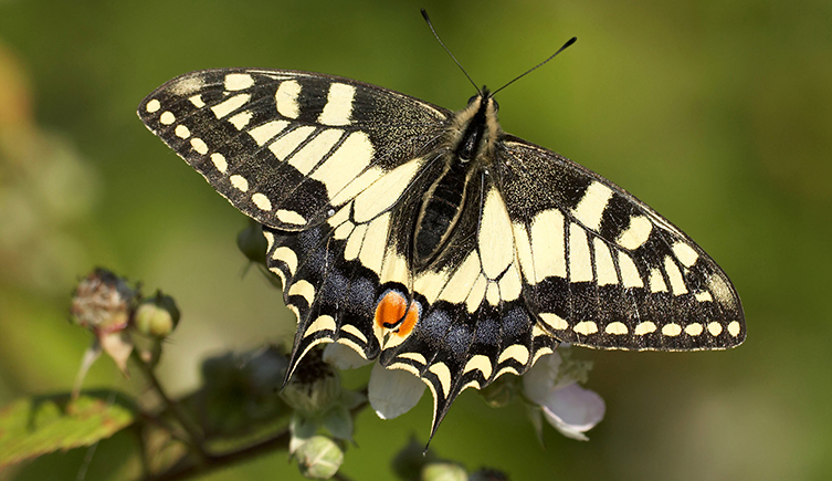 The swallowtail butterfly