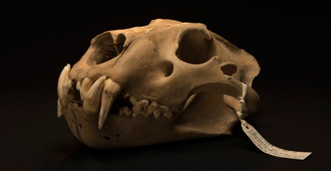 Barbary lion skull found at the Tower of London