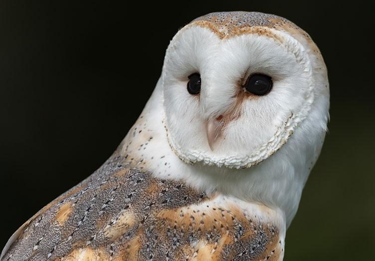 Image result for barn owls beak