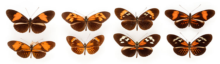Heliconius butterfly specimens
