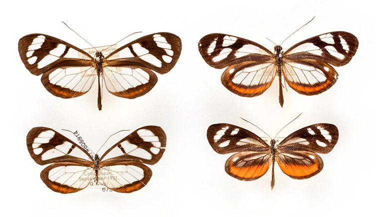Specimens of Ithomia flora and its mimic Dismorphia theucarilla