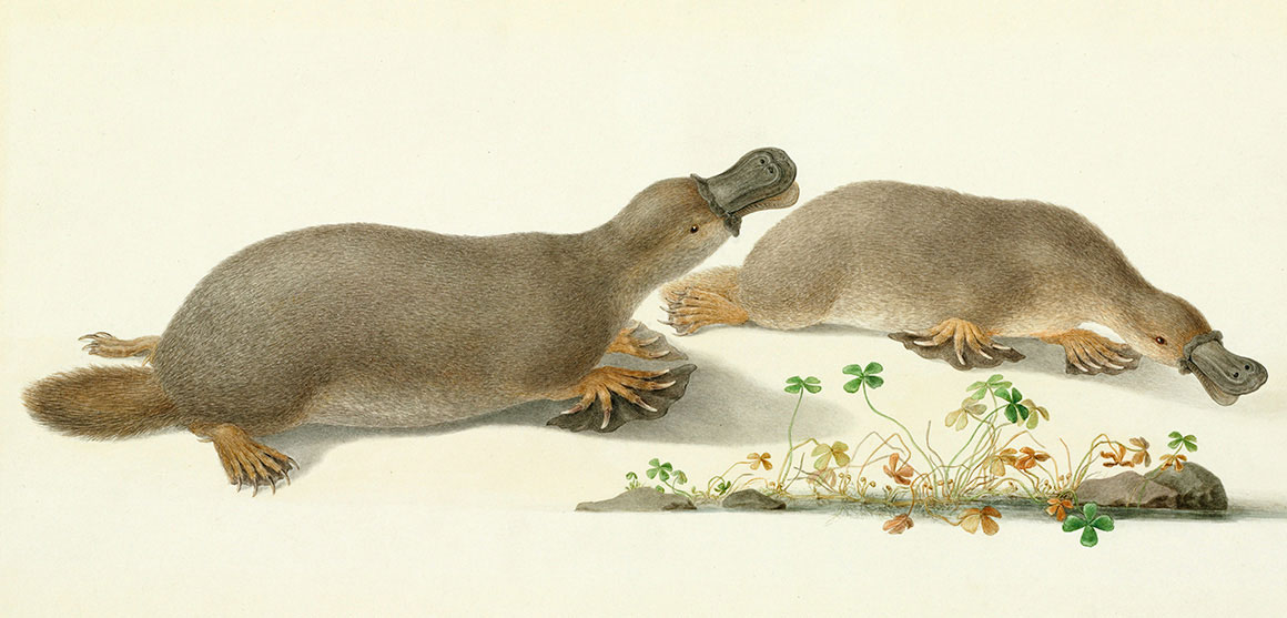 Platypus watercolour by Ferdinand Bauer
