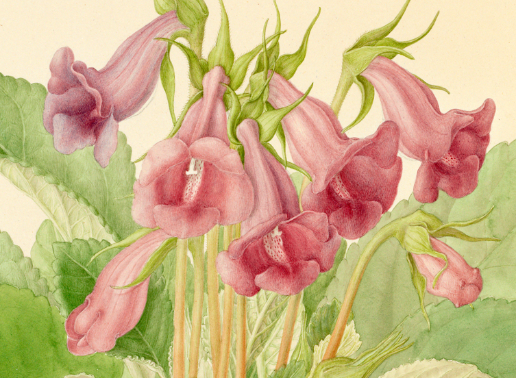 Gloxinia watercolour by Franz Bauer