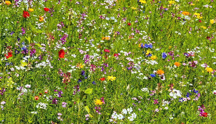 Planting wildflower in field margins and on brown field sites will help bees