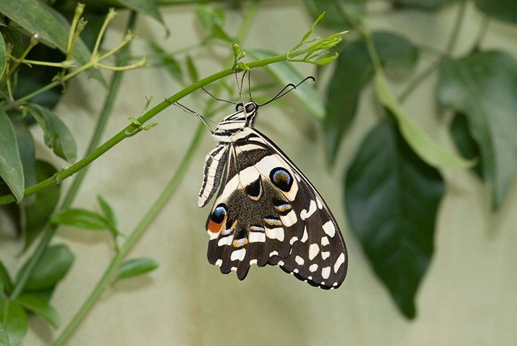 Spotlight Citrus Swallowtail Natural