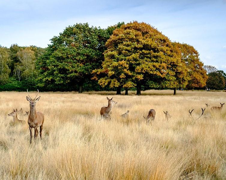 richmond-park-deer-two-column.jpg.thumb.