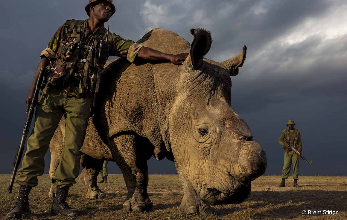 Sudan, the last remaining northern white rhino, in a Kenyan conservation park