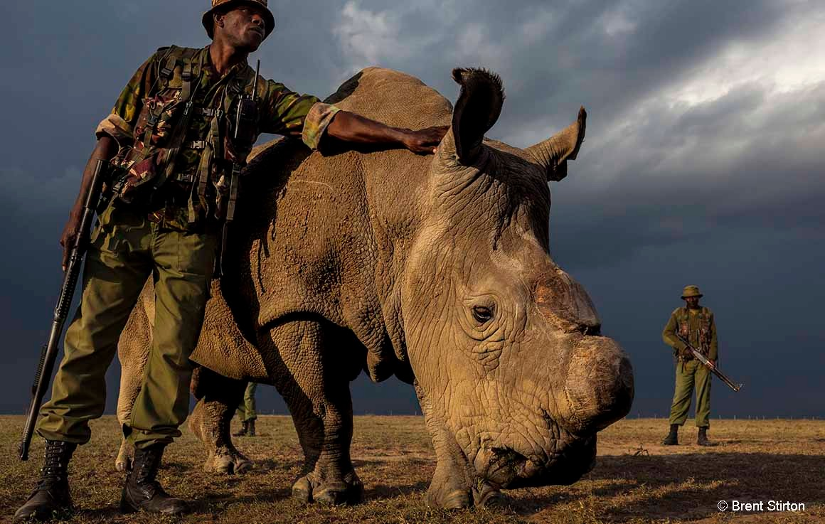 White rhino Sudan dies: is all hope lost for this subspecies