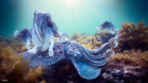 Two cuttlefish from Blue Planet II: Green Seas © BBC