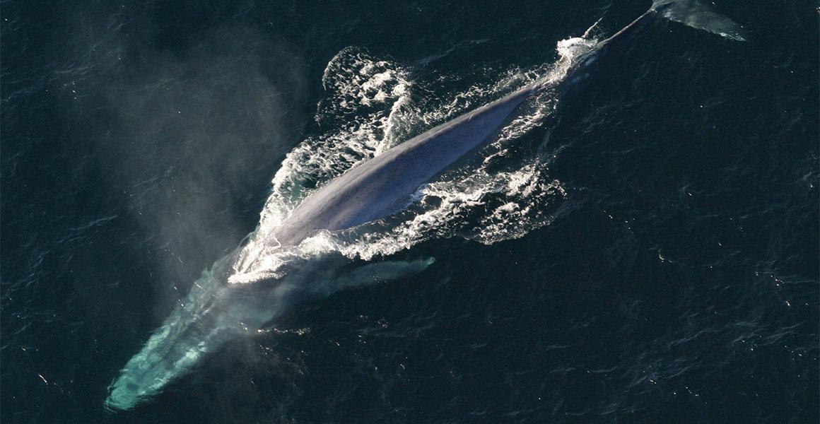 A blue whale's banquet