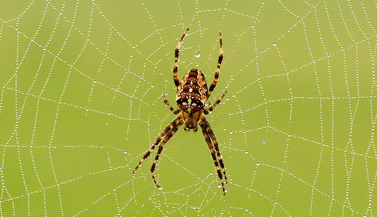 A brown garden orb-weaver spider on its web