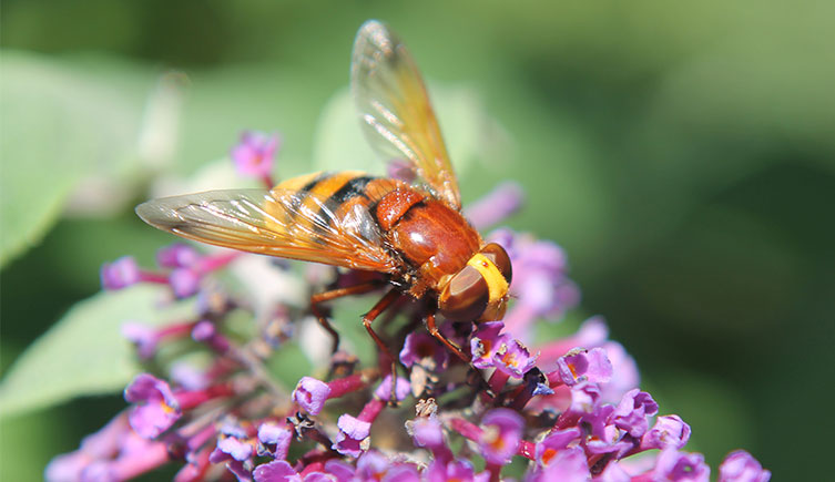 Hornet-mimic hoverfly on a flower