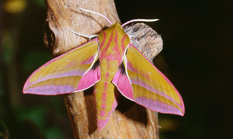 Elephant hawkmoth at night with a light shining on it