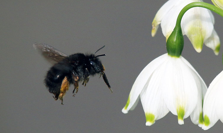 Female hairy-footed flower bee flying towards a spring snowflake flower