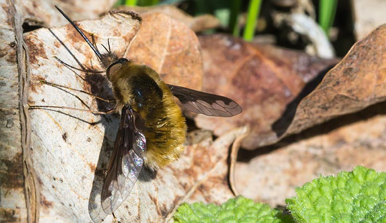Large bee-fly on a brown leaf