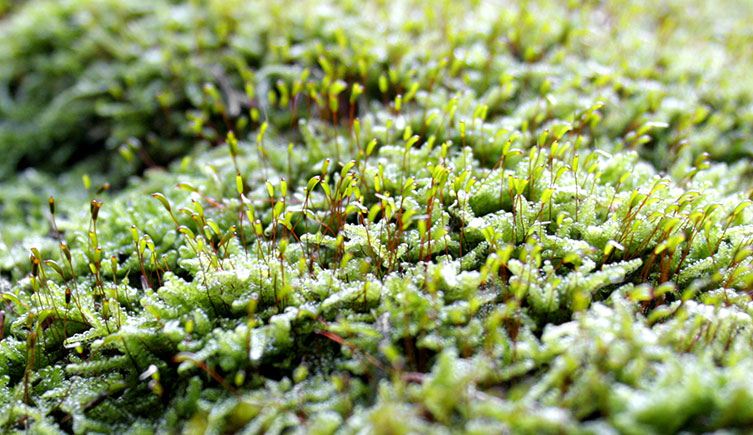 A carpet of moss with fruiting bodies present